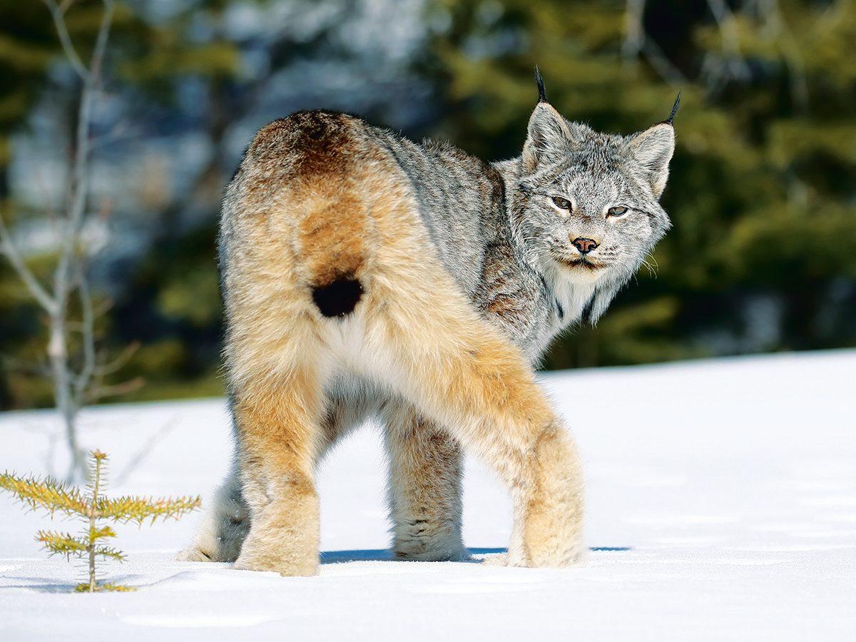 Canada lynx rear view