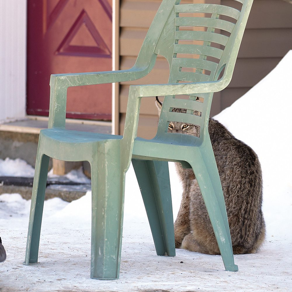 Canada lynx sitting under patio chair