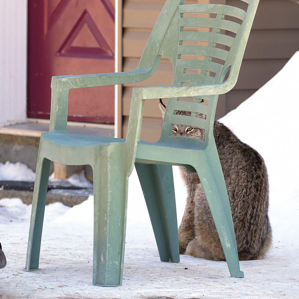 Canada lynx sitting under patio chair