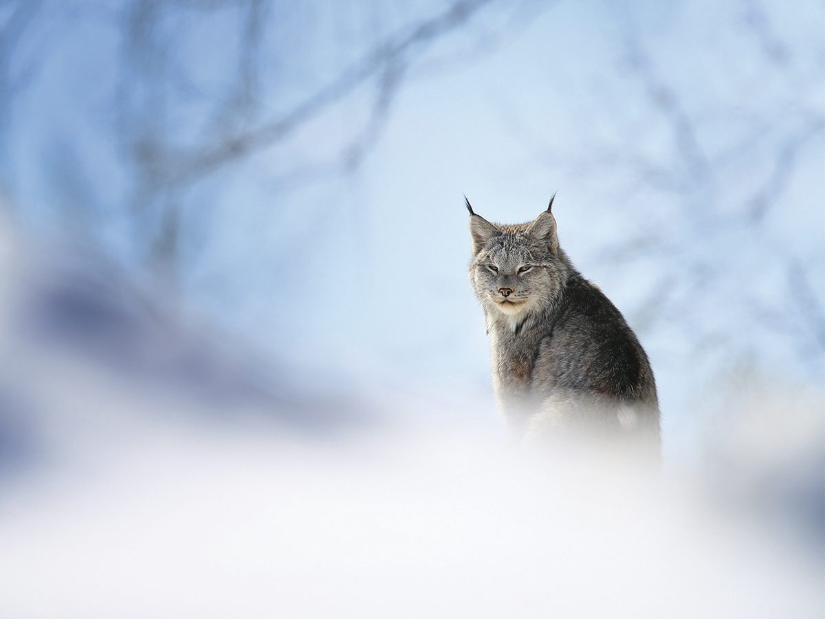 Canada lynx in winter at distance
