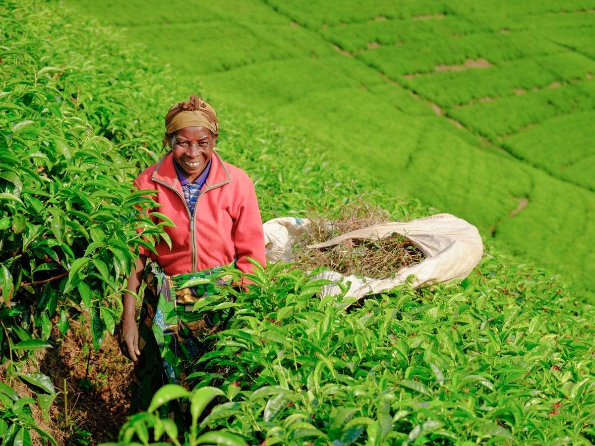 African woman worker collecting tea in plantation in Rwanda
