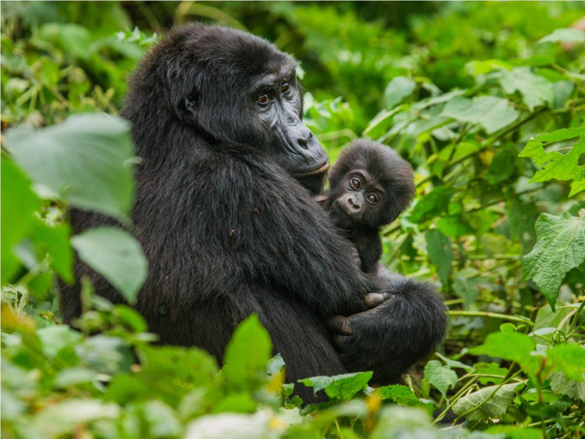 A female mountain gorilla in Bwindi Impenetrable Forest National Park, Uganda