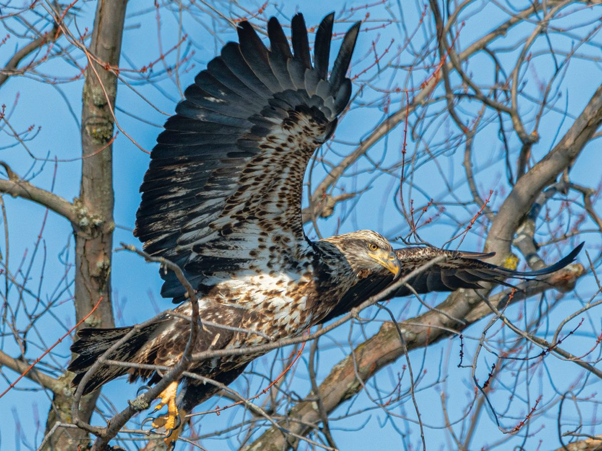 Great Canadian bird stories - bald eagle