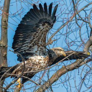 Great Canadian bird stories - bald eagle