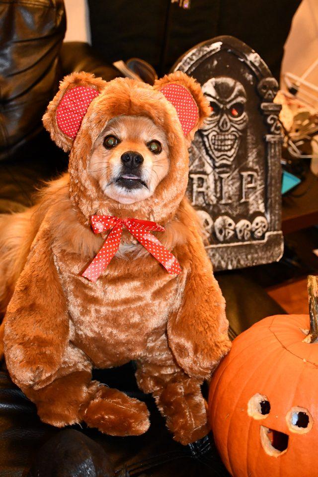 Dog in a teddy bear costume