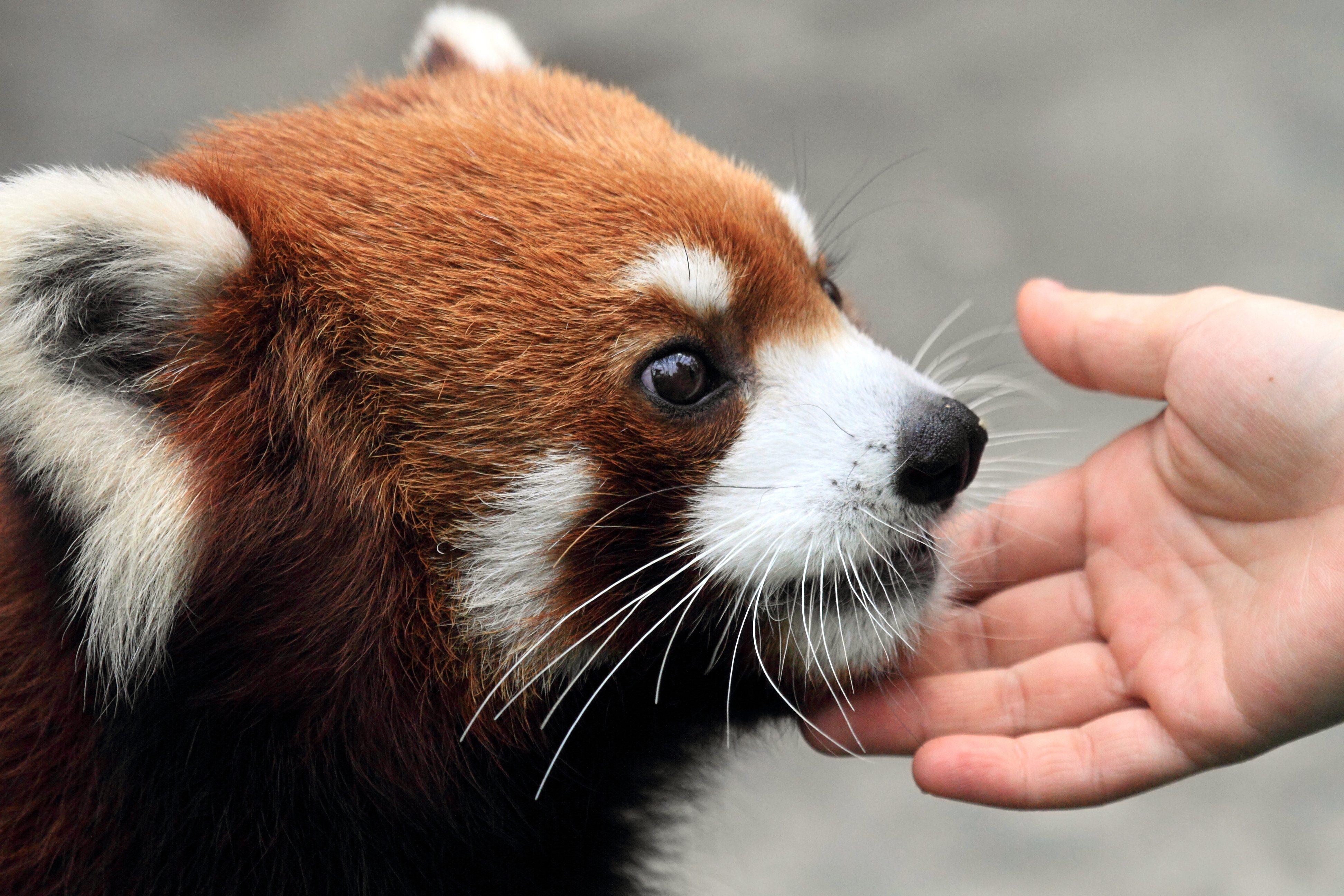 lovely red panda enjoying gentle human touch