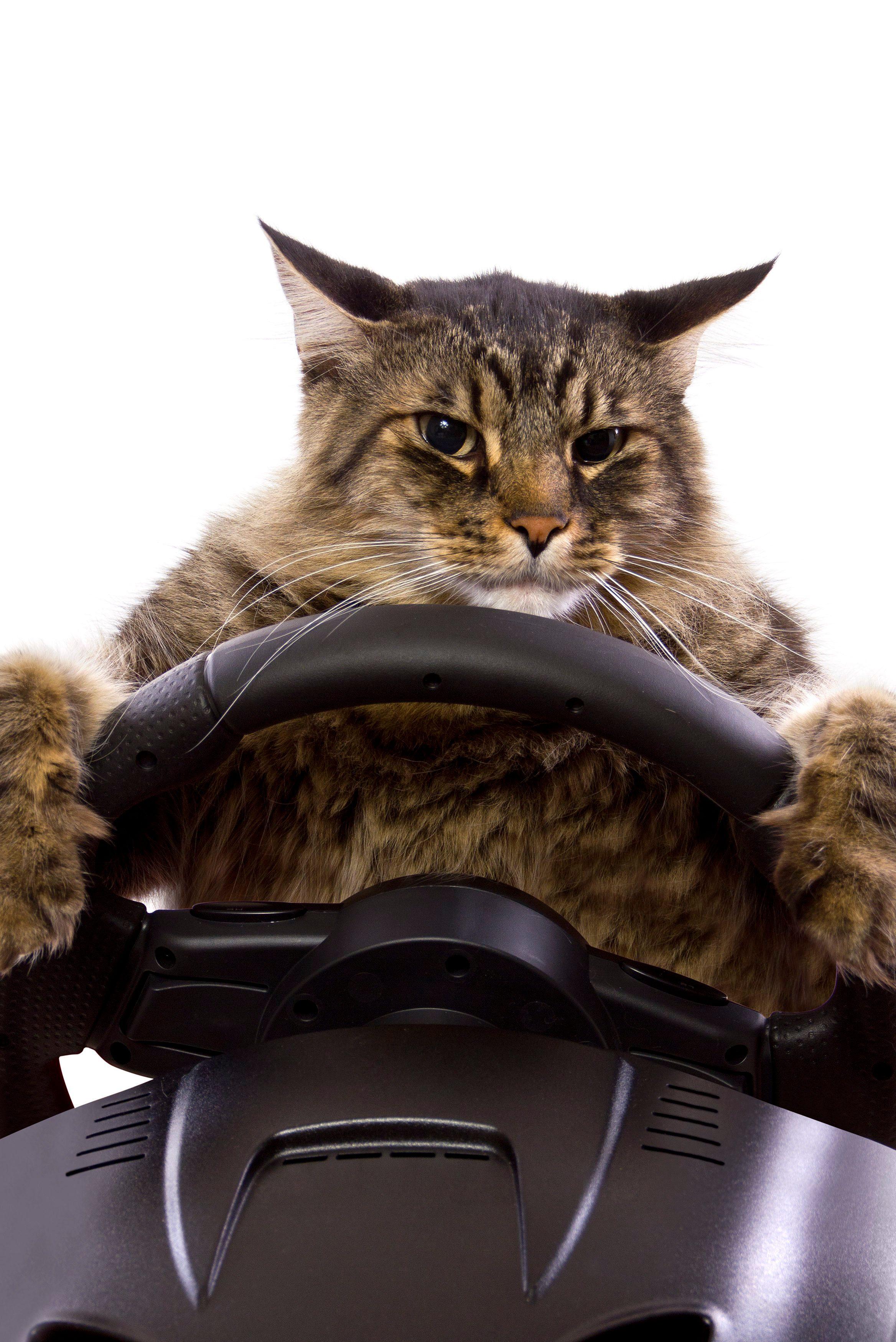 cat driving