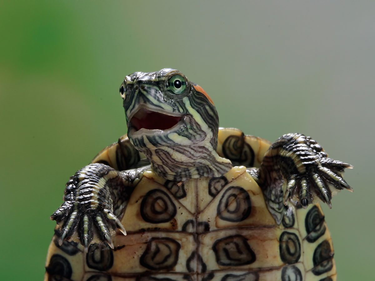 Best Readers Digest Jokes Ever - Funny Turtle
