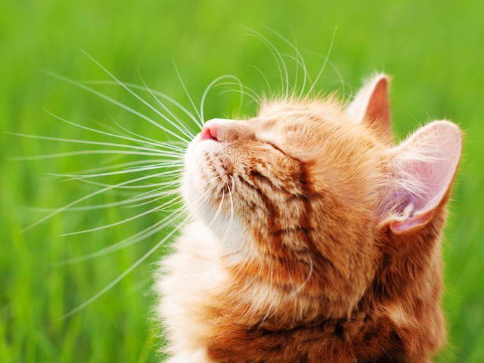 Cat Videos - Cat in the Green Grass in Summer. Beautiful Red Cat with Yellow Eyes
