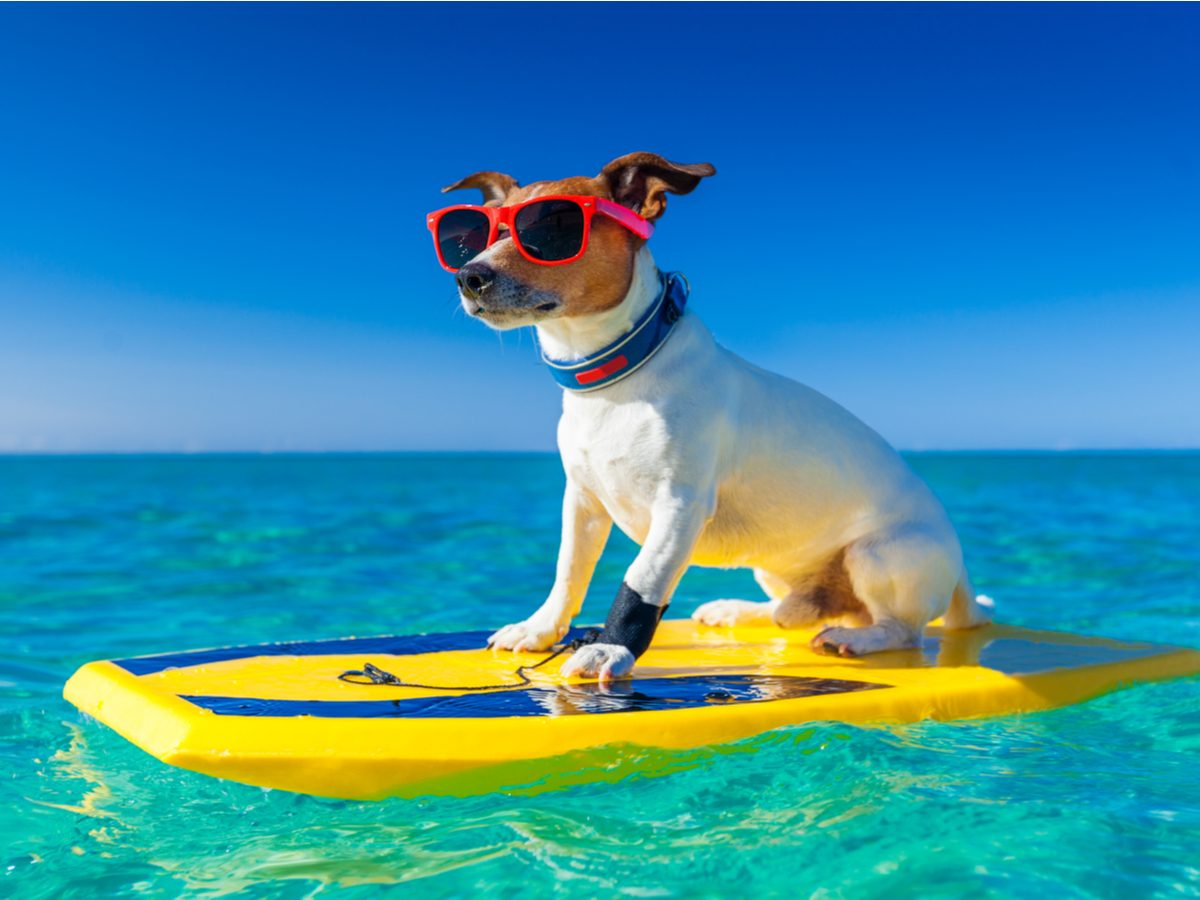 Dog with glasses on a surfboard