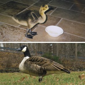 family raised goose peeper returned after 20 years