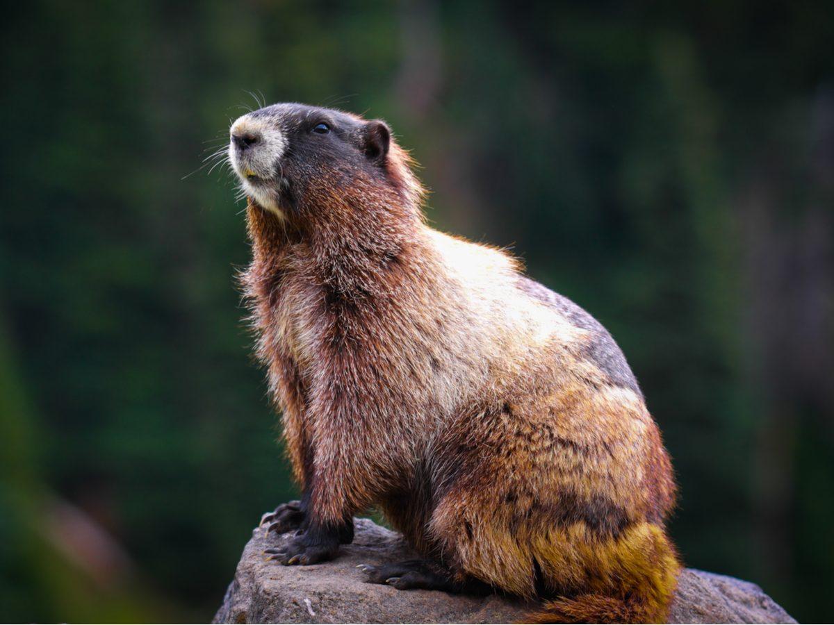 Beaver sunbathing