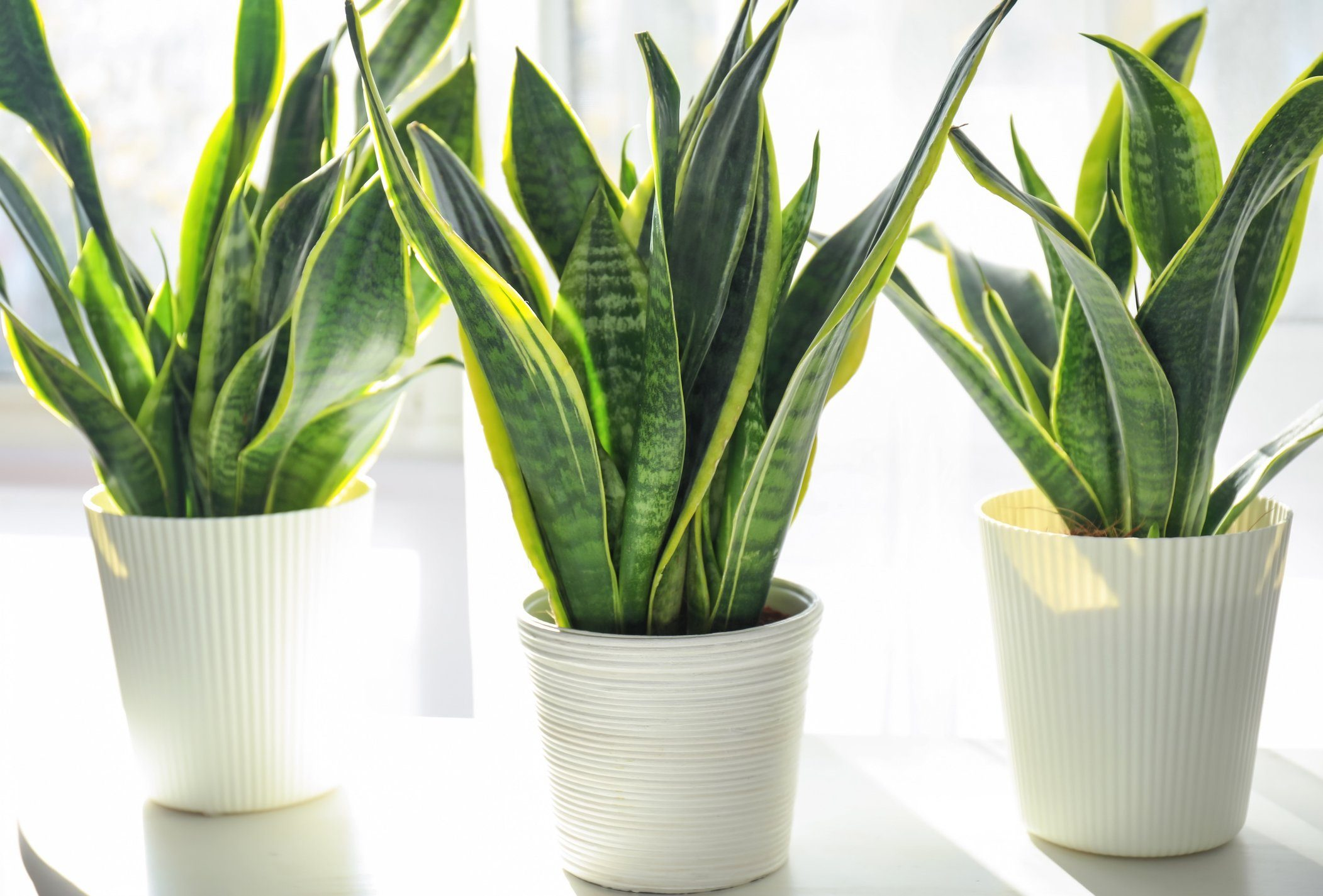 Decorative sansevieria plants on white table