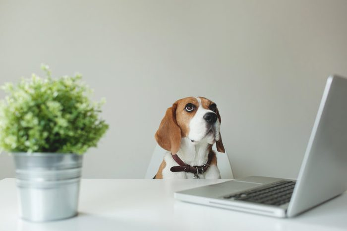 Beagle dog sitting at office table with a laptop looking up