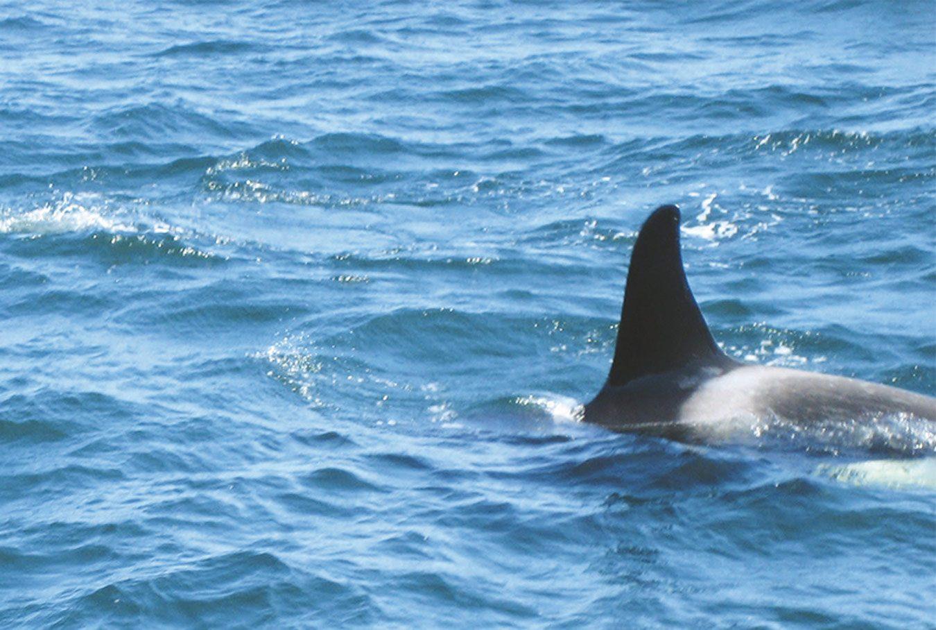 Killer whale in Tofino