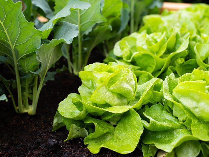 Growing lettuce in raised garden bed