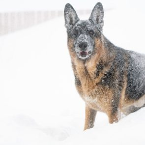 German Shepherd in a blizzard in Newfoundland and Labrador