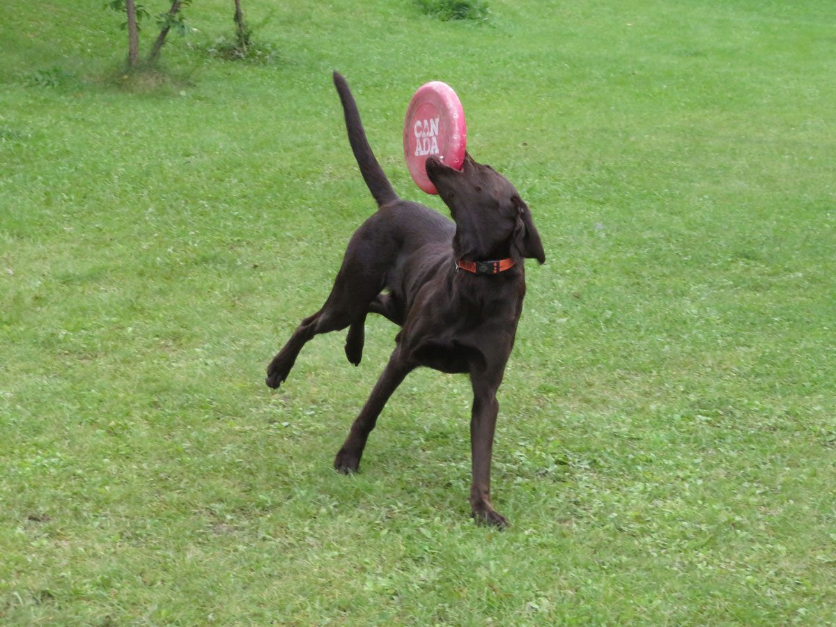 Chocolate labrador dog playing fetch with frisbee