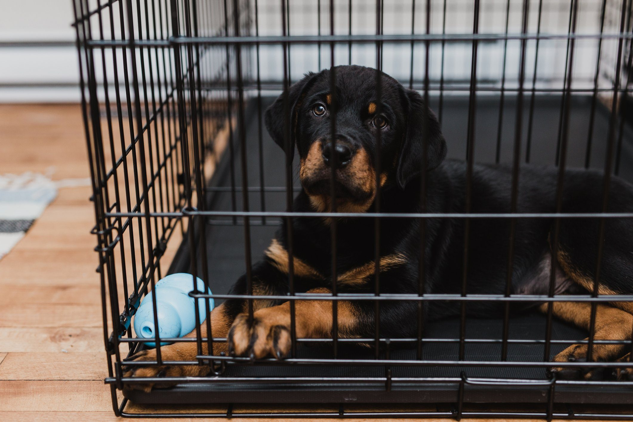 Rottweiler puppy inside his crate