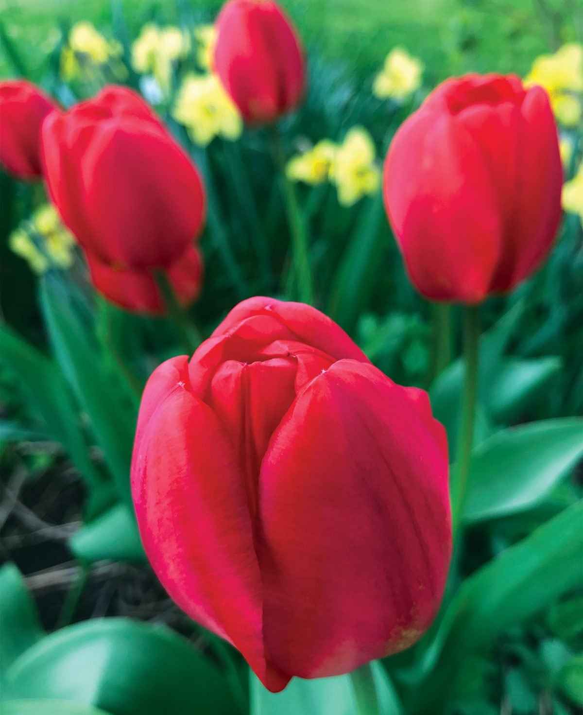 Flower Picture Gallery - Red Tulip