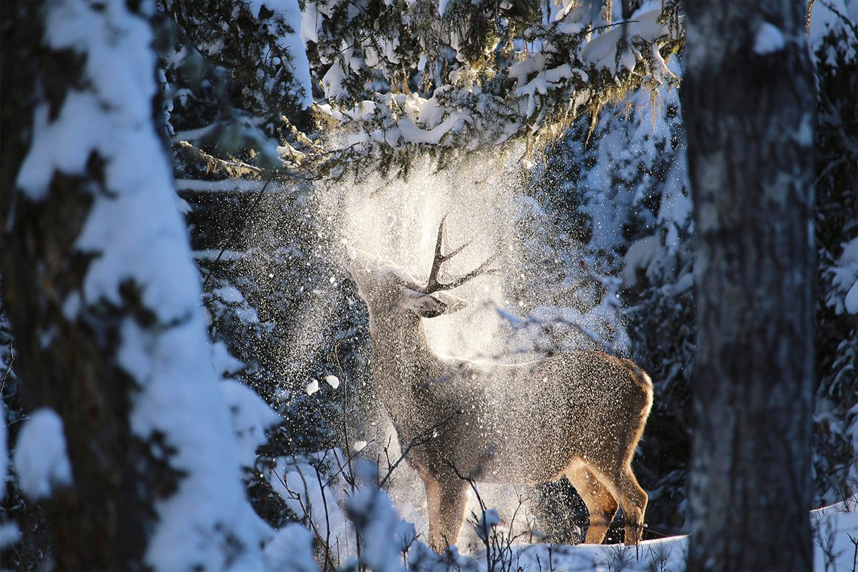 Share Your Canada photo contest - deer and snow