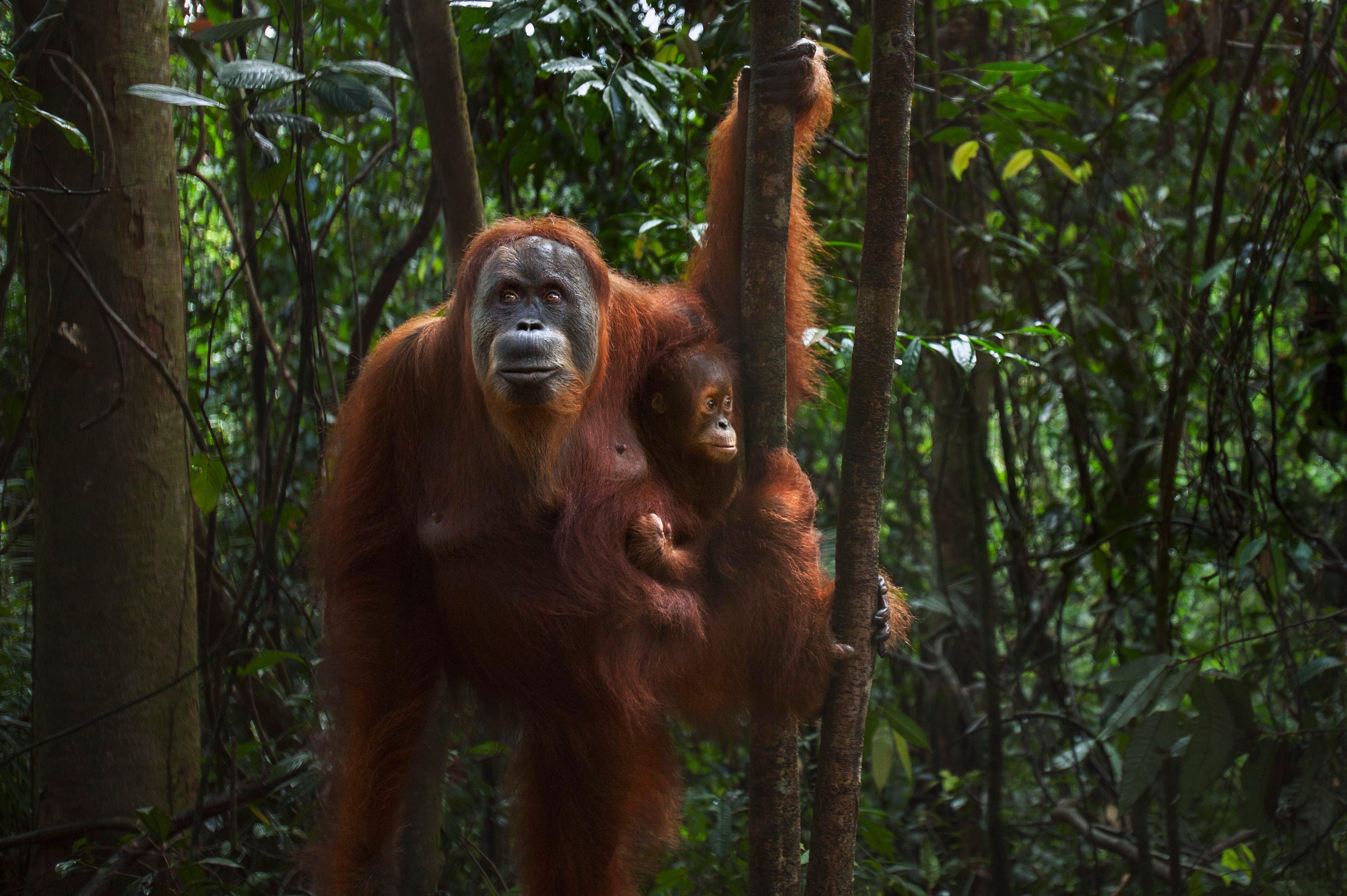 Sumatran Orangutan female 'Suma' aged 36 years carrying her baby daughter 'Sumi' aged 2-3