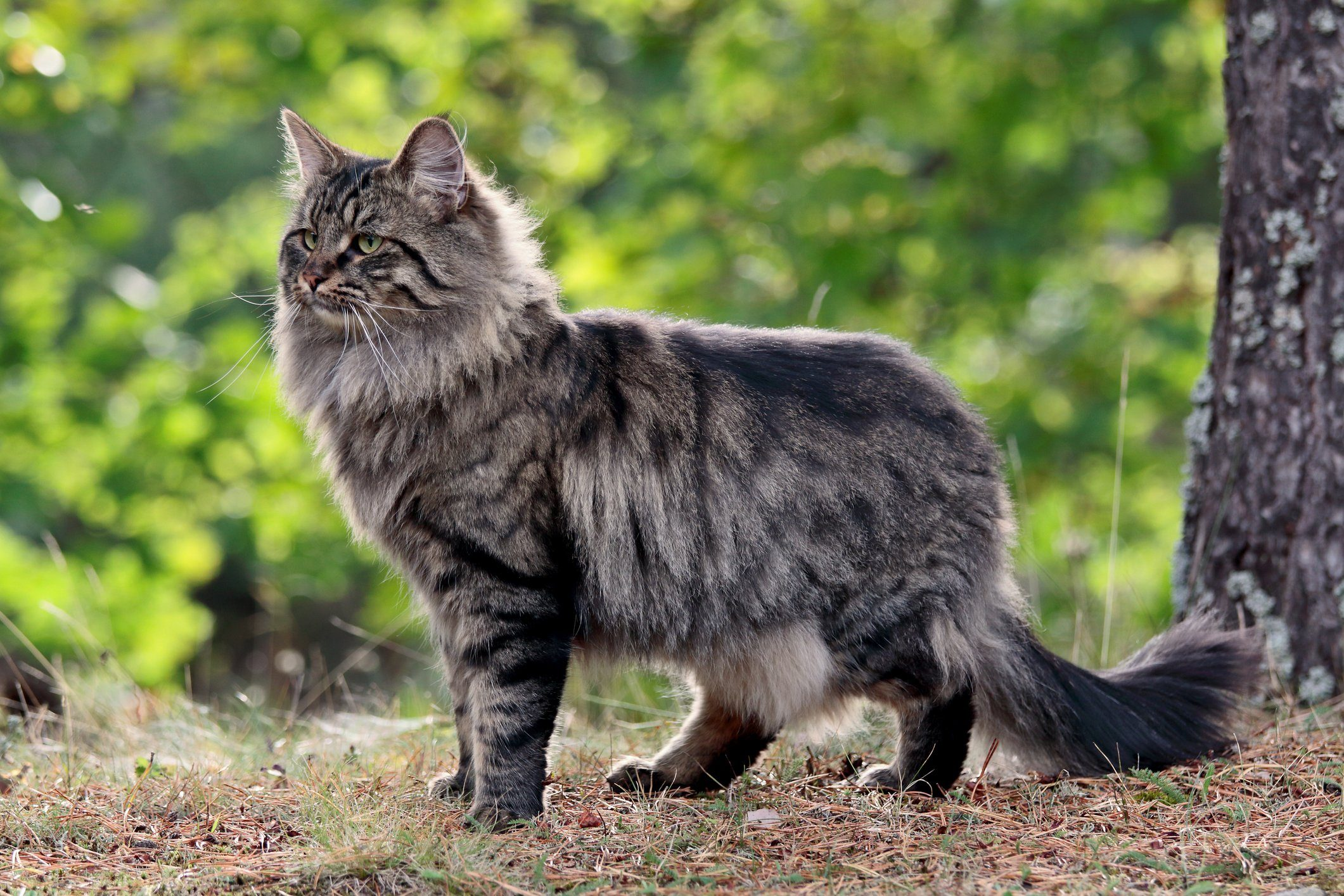 Norwegian forest cat male in forest