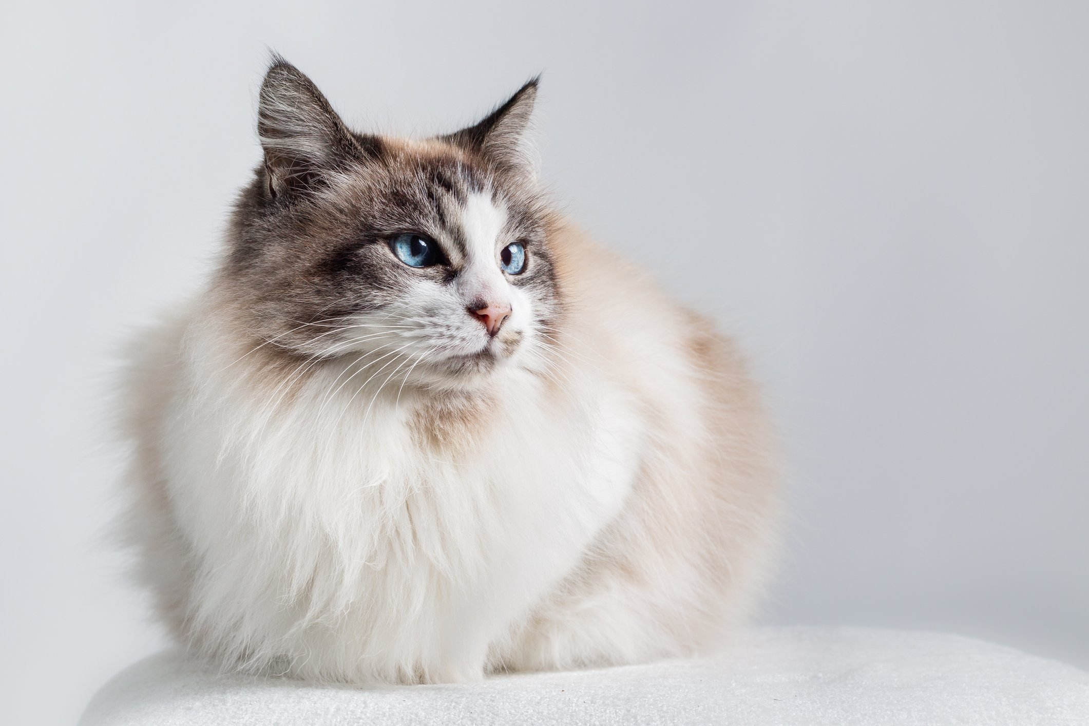Long hair domestic cat - Ragdoll.
