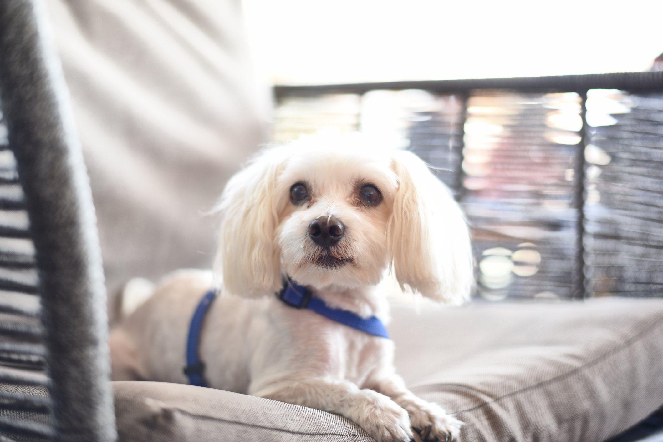 Maltese Dog relaxing on sofa
