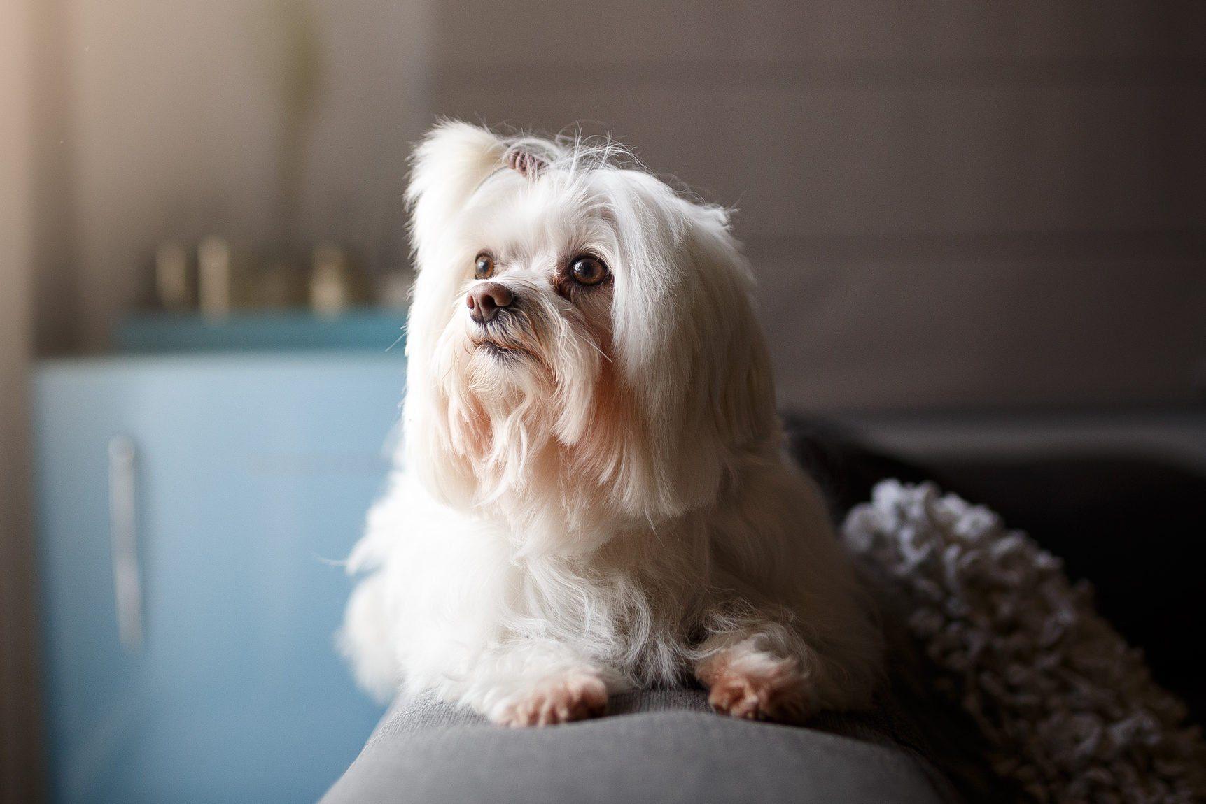 White Lhasa Apso dog portrait