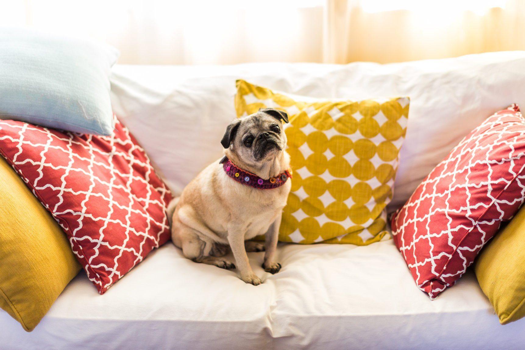 Portrait of pug dog sitting on a sofa