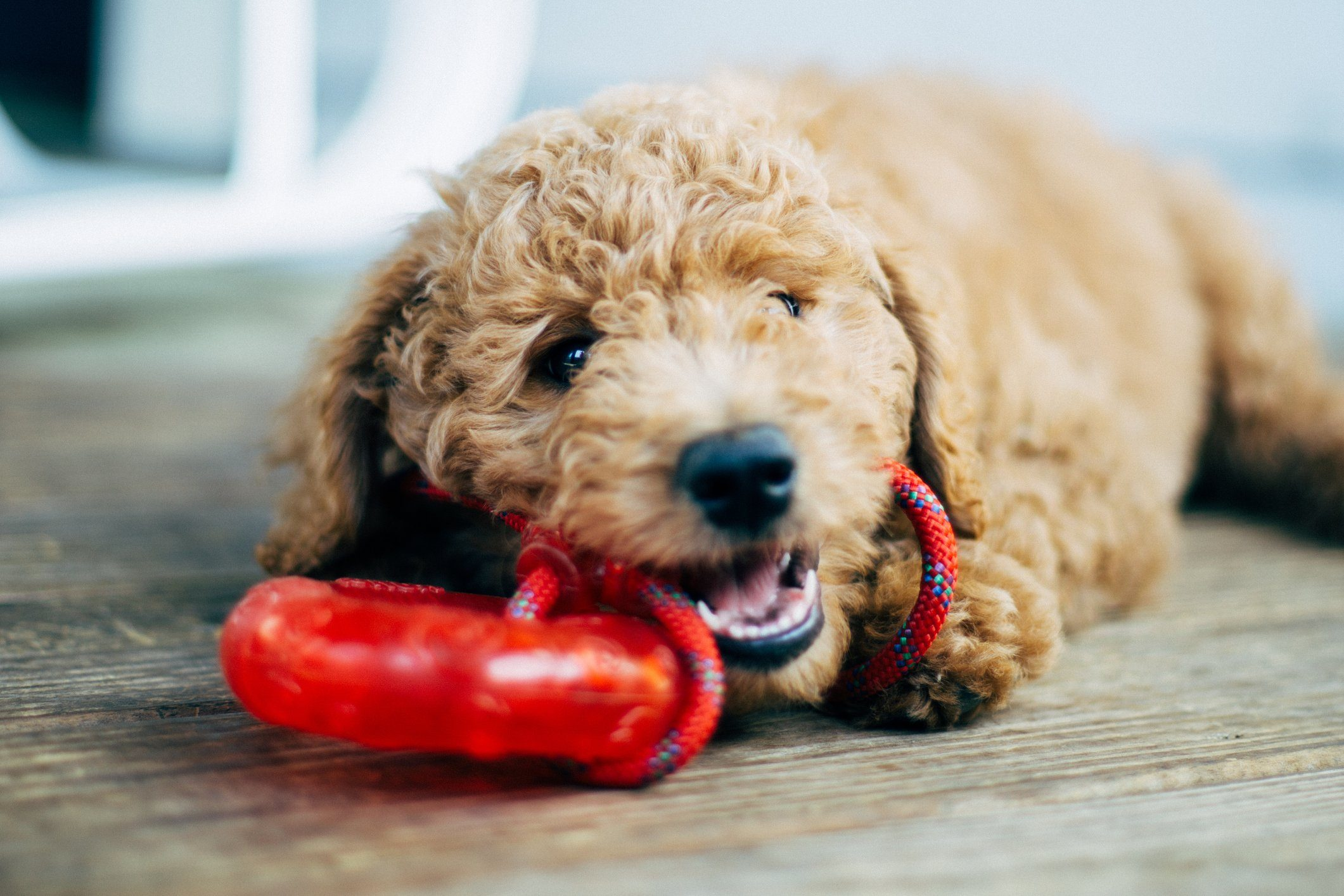 Close-Up Of Dog With Red Toy At Home