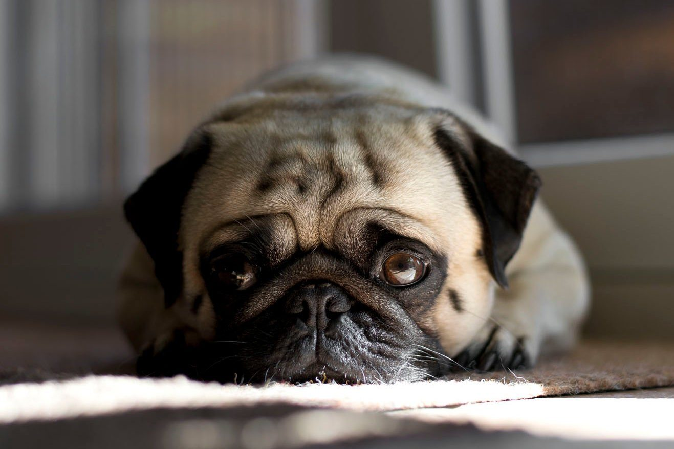 Close-Up Portrait Of Pug At Home