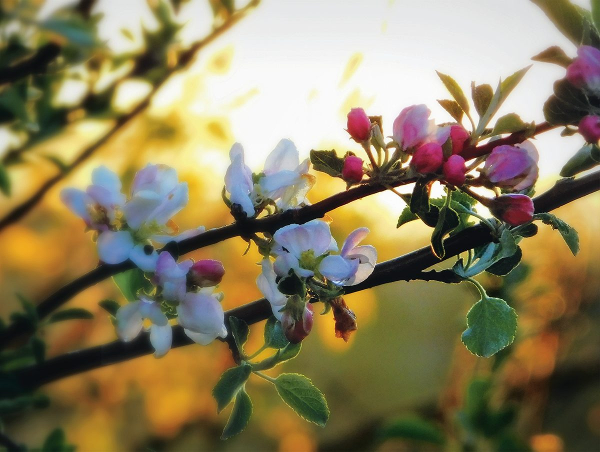 Apple blossoms in the Annapolis Valley
