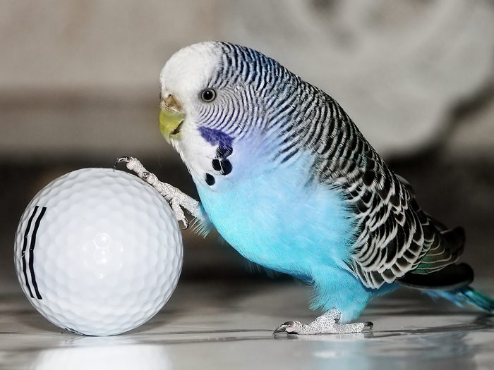 Blue budgie with golf ball