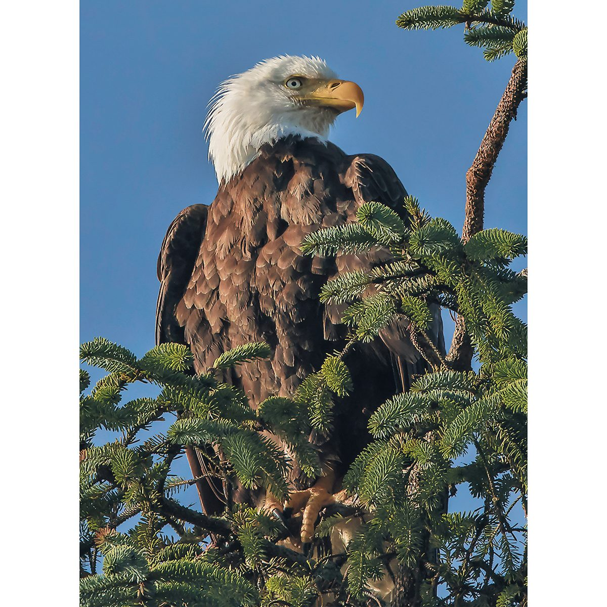 Canadian bird stories - bald eagle