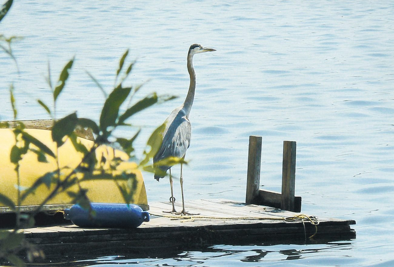 Canadian bird stories - great blue heron