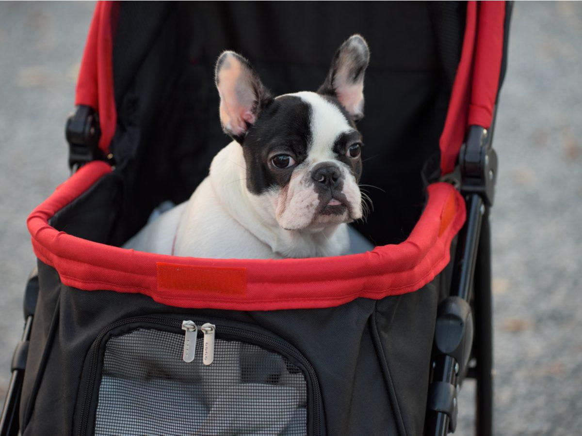 Cute dog in a baby stroller
