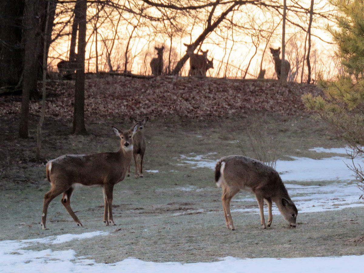 Pack of deer