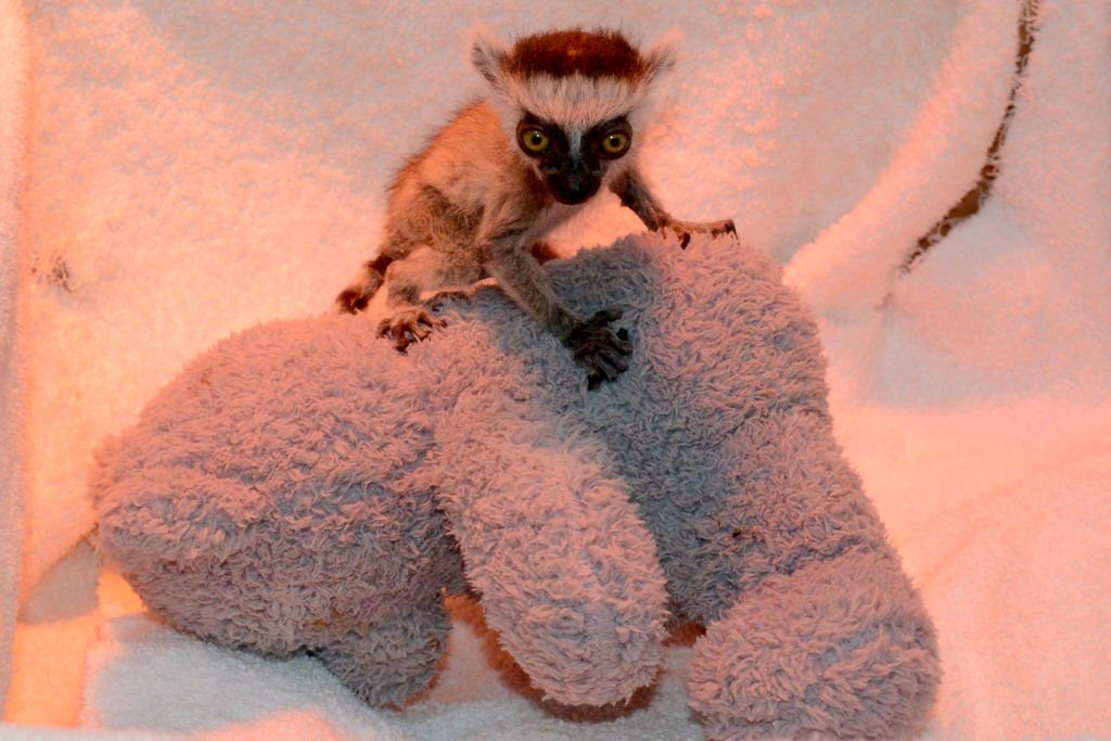 Baby ring-tailed lemur raised in private zoo in Krasnodar, Russia