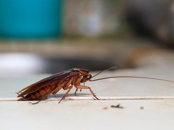 House bugs - cockroach