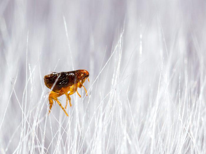 House bugs - flea