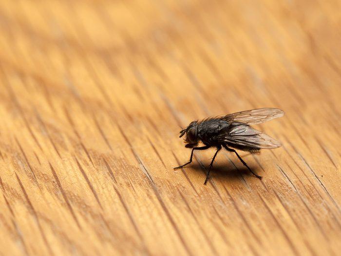 House bugs - house fly