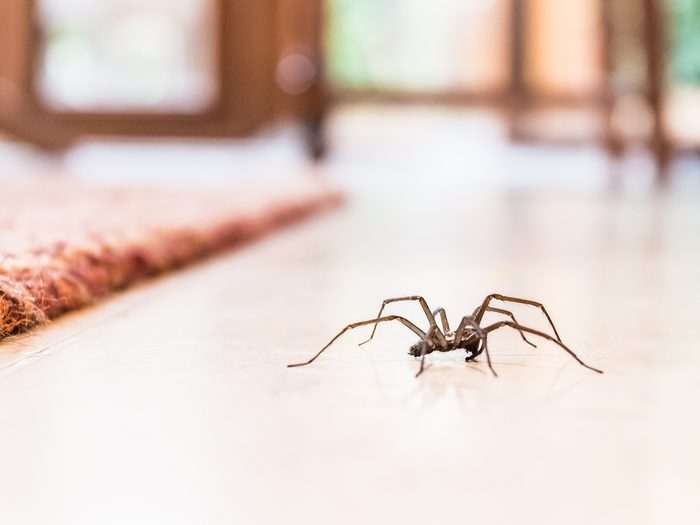 House bugs - spider