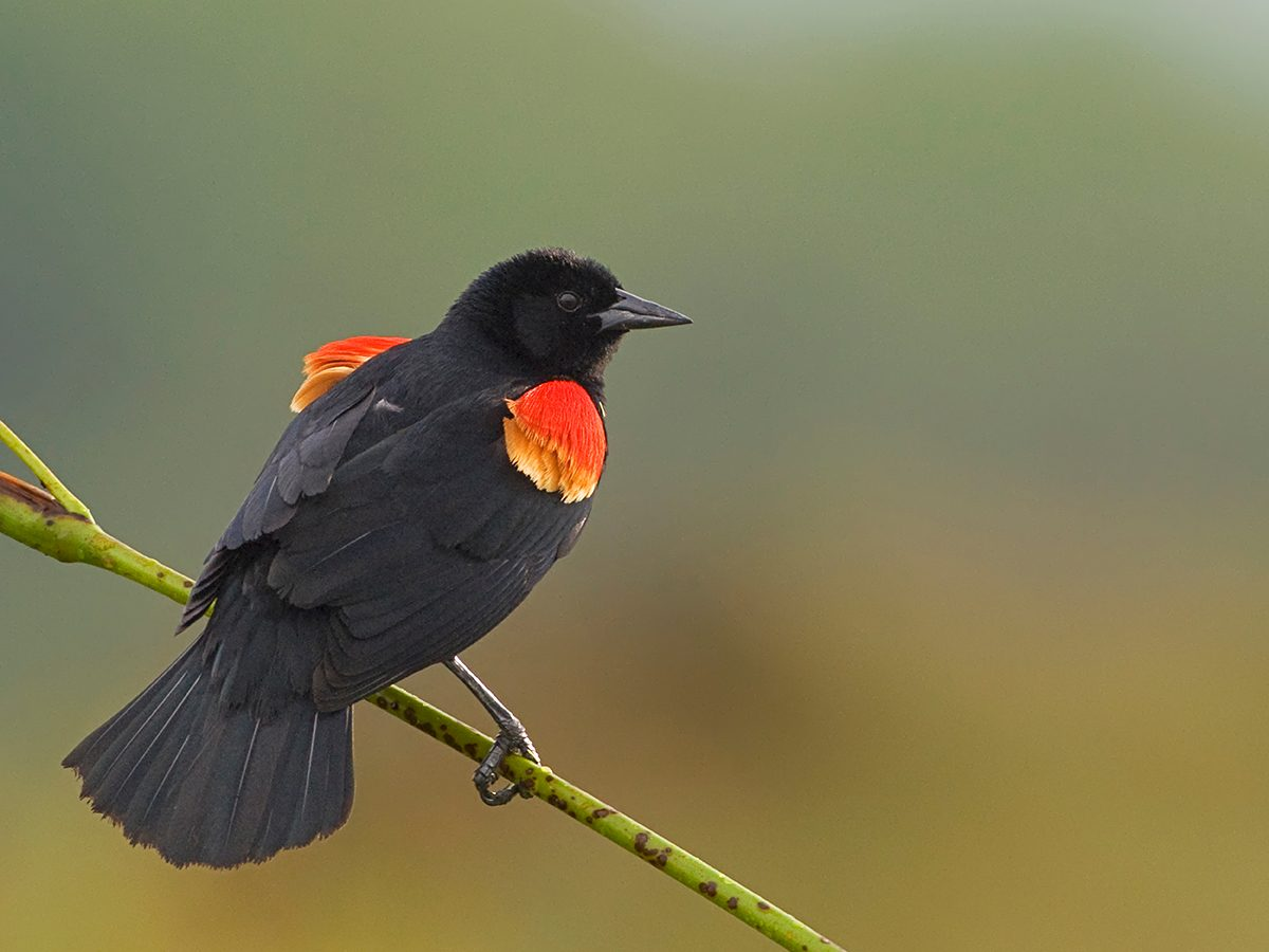 How to make walking less boring - red wing blackbird