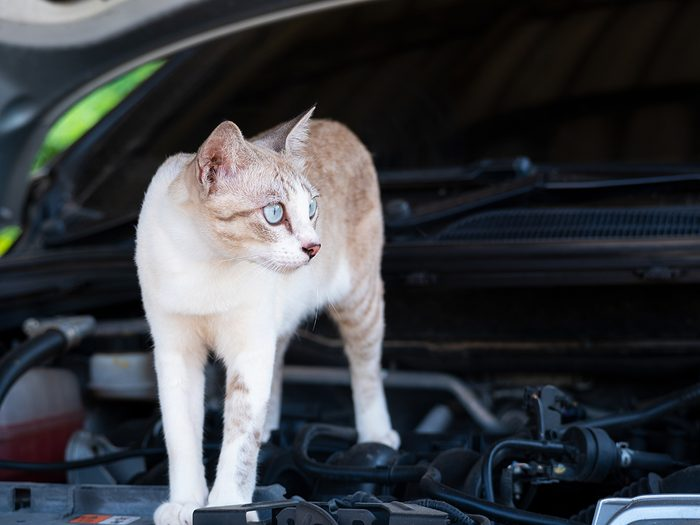 Strangest things mechanics have found in cars - cat on engine block