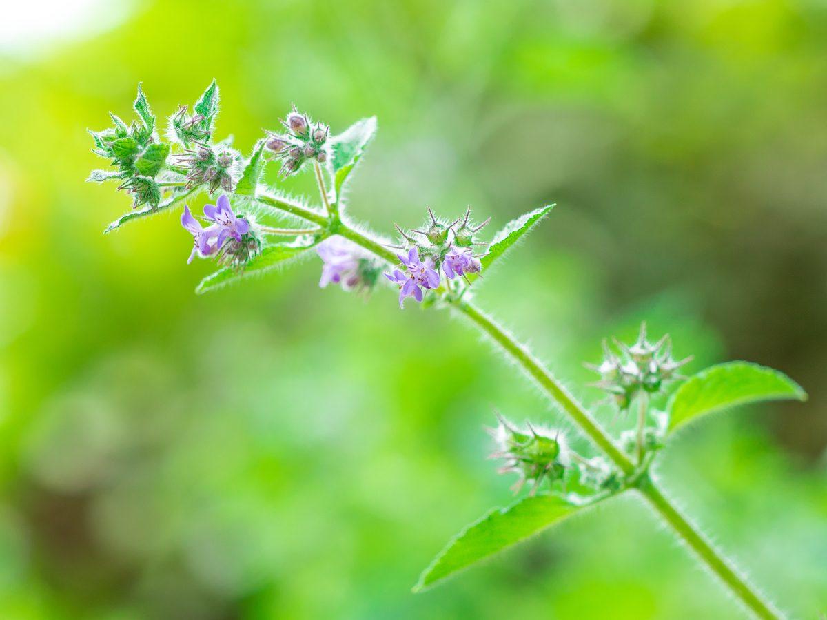 Spikenard plant