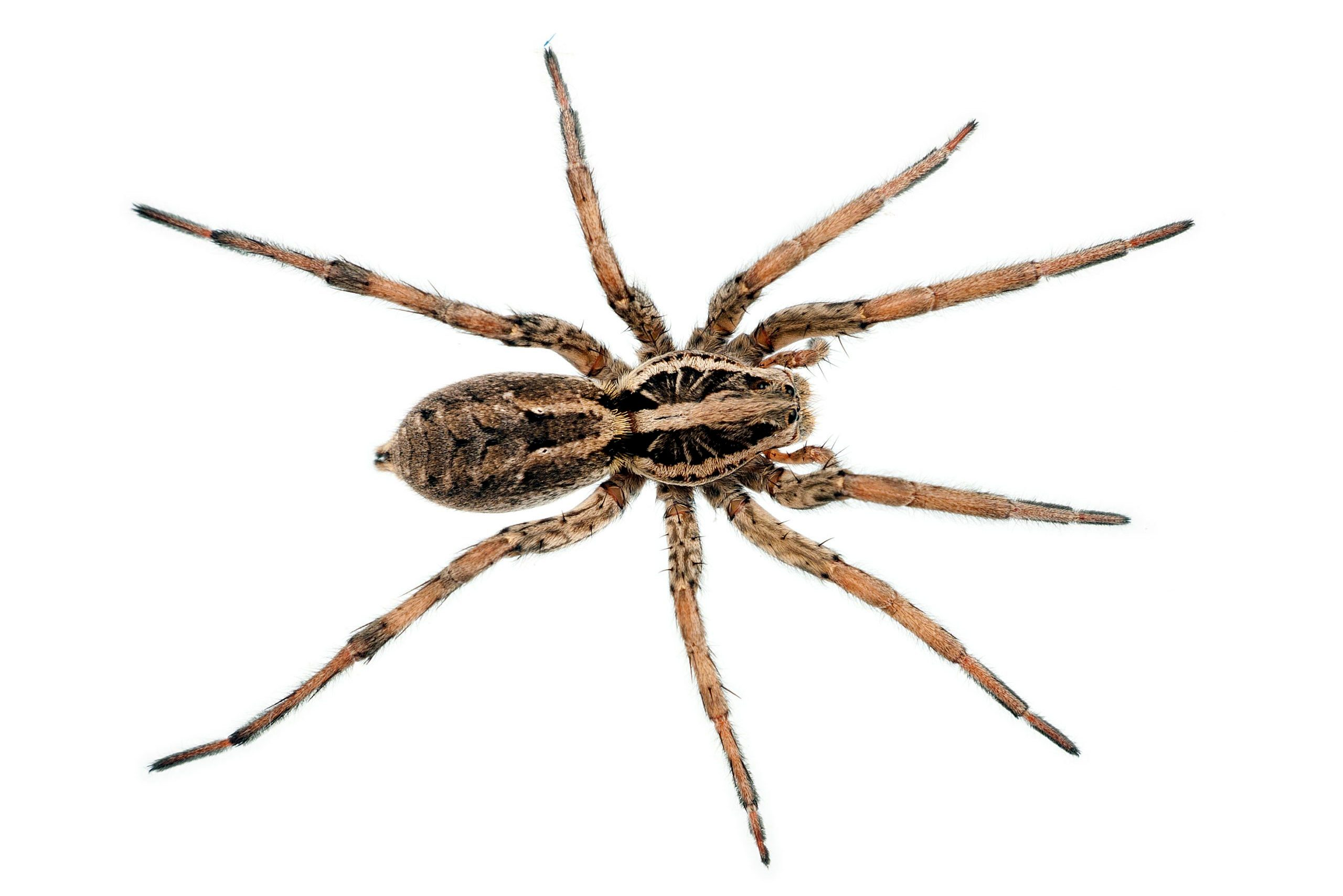 wolf spider from above