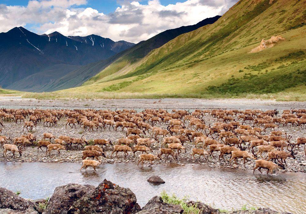 caribou calving grounds -arctic refuge