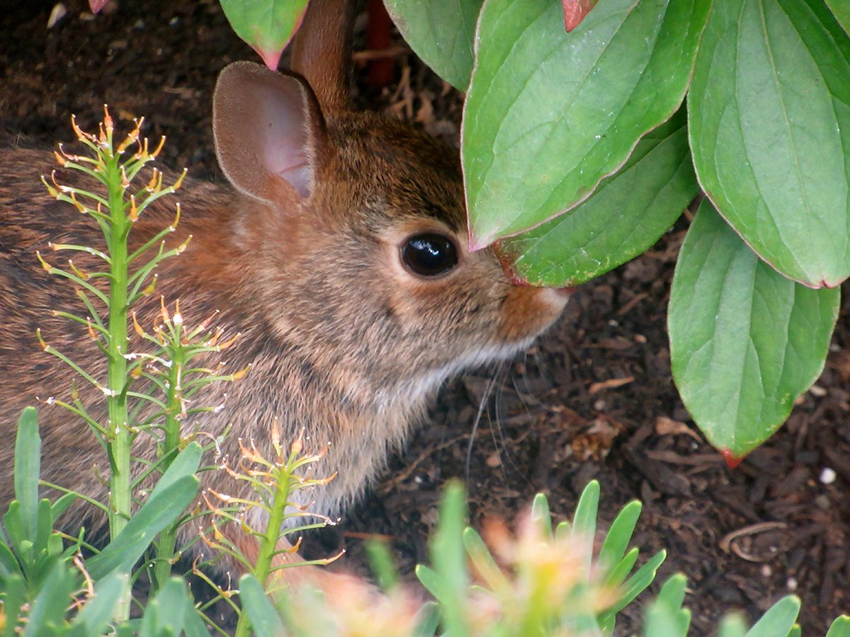 In the backyard photography - baby bunny